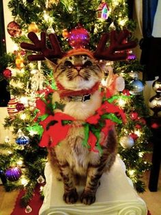 ... twelfth cat of Christmas… | Community Post: The 20 Cats Of Christmas