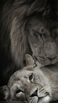 Love ❤️ lion