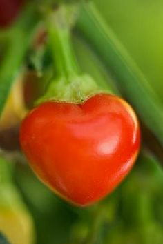 Hearts~heart shaped tomatoe in nature