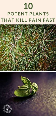10 Potent Plants That Kill Pain Fast - There is a collection of pain relievers growing in the world around us. The best part about these plants in particular is that they can be grown in your own herb garden.