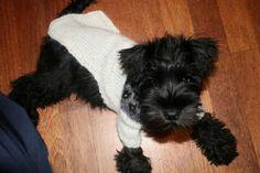 My beautiful miniture schnauzer. Wearing a sock coat just like betty when we first got her :-) Black Schnauzer, Miniature Schnauzer Puppies, Giant Schnauzer, Schnauzer Puppy, Cute Little Puppies, Small Puppies, Cute Puppies, Terrier Breeds, Terriers