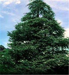 Atlas Cedar - Cedrus atlantica