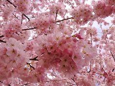 Fine Art Digital Download Flowers Cherry by Turtlesandpeace