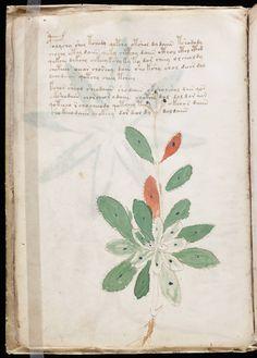 File:Voynich Manuscript (16).jpg