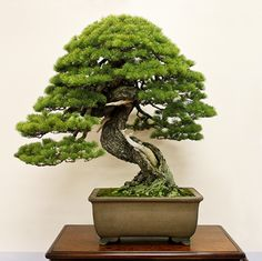 2011 Kokufu Prize winning informal upright style Japanese white pine (Pinus parviflora); it also received the Prime Minister Award at the Taikan Ten Exhibition in November 2010