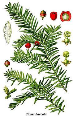 Taxus baccata //Tiszafa