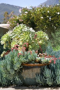 Big Dragon pot with succulents - landscape - santa barbara - Margie Grace - Grace Design Associates