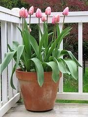 How to Plant Tulips in a Pot Yard, Planting In Containers, Plant Tulip, Plants, Outdoor Decor, Garden Idea, Tulips, Glorious Garden, Pot