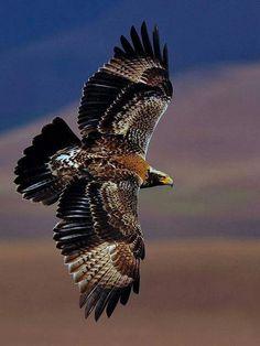 Golden Eagle (Aquila chrysaetos) Wild Bird