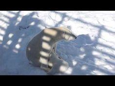 P1710743 jääkarhu imetys - YouTube Baby Polar Bears, Horror, Ice, Snow, Youtube, Animals, Animales, Animaux, Rocky Horror