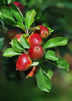 Cider Apples, Herefordshire, England