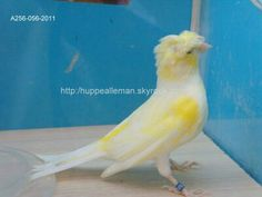 Mosaic canary crested
