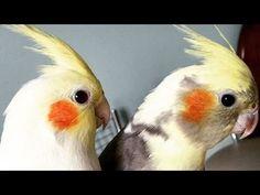 Canto de Calopsita Para Treinar Calopsitas - YouTube Cockatiel, Beautiful Birds, Funny Images, Pet Birds, Parrot, Pets, Youtube, Animals, Training
