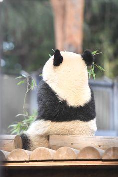 今日のパンダ(2341日目) | 毎日パンダ Cute Baby Animals, Animals And Pets, Worlds Cutest Animals, Panda Family, Panda Images, Panda Wallpapers, Panda Art, Cute Panda, Pet Birds