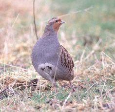 Grey Partridge (Eddie Dunne), resident in lowland farmland in Co Offaly