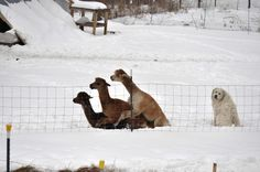 Some days you just feel like a dog at an alpaca orgy