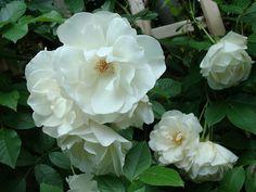 Les roses de mon jardin   Flickr - Photo Sharing!