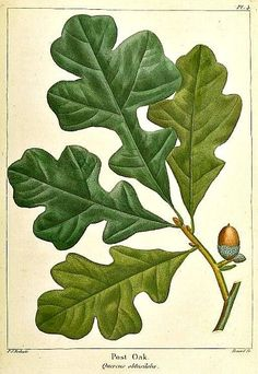 Redoute Post Oak; shading colors on a leaf