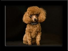 toy poodle posted by Redlandspoodles.com