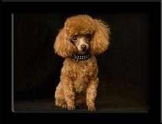 toy poodle posted by Redlandspoodles.com