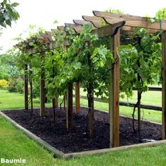Grape Arbor - I like the lack of other plant competition to keep the grapes  healthy