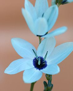 Ixia viridiflora. Beautiful! And such an unusual color. The flowers are turquoise green with a black center.
