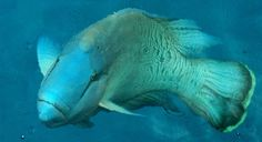 big fish at great barrier reef