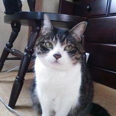 おはようございます♪今日は20歳で天使になった龍ノ介の月命日。くるちゃんたちも龍ちゃんのように長生きしようね♪  #猫 #ネコ #cat #ぽっちゃり猫 #ぽっちゃりねこ #でぶねこ  #デブ猫 #四国にゃんこ部 #猫のいる暮らし  #猫と暮らす #猫との暮らし #猫のいる生活 #愛猫 #猫バカ部 #ねこら部