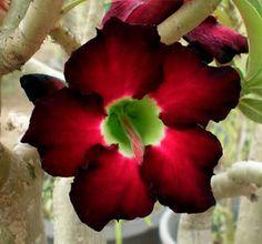 Desert Rose (Adenium Obesum) 'Blackberry'