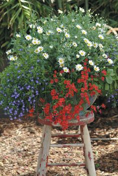 Red, White & U-three pots of each plant: Marguerite Daisy Molimba® Hello White, Lobelia Laguna™ Compact Blue with Eye, Nemesia Sunsatia® Cranberry and Golden Leaf Sage Icterina. Garden Chairs, Garden Planters, Container Plants, Container Gardening, Beautiful Gardens, Beautiful Flowers, Porches, White And Blue Flowers, Blue Garden