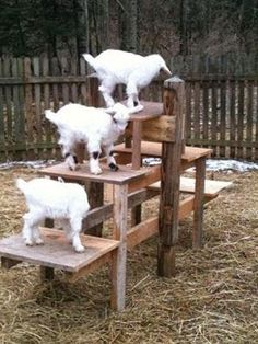 My first invention of goat toys did not go so well, it was slotted wood grates and a few of the goats got there legs stuck in them which was very scary! Thank heavens no one got a broken leg… Mini Goats, Cute Goats, Baby Goats, Keeping Goats, Raising Goats, Pigmy Goats, Goat Playground, Playground Ideas, Farm Animals