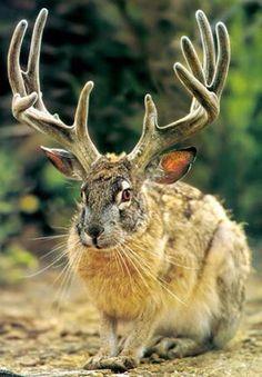 """ウサギに鹿の角!?""""ジャッカロープ""""                                                                                                                                                     もっと見る"""