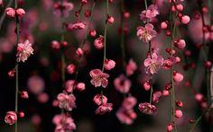 free pictures cherry blossom, Leeman Sheldon 2016-08-18