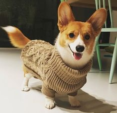 The many things we like about the Pembroke Welsh Corgis Puppies corgi of course Cute Baby Animals, Animals And Pets, Funny Animals, Corgi Funny, Corgi Dog, Corgi Tail, Pembroke Welsh Corgi Puppies, Cute Puppies, Cute Dogs
