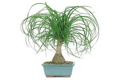"20"" Ponytail Palm Bonsai on OneKingsLane.com"