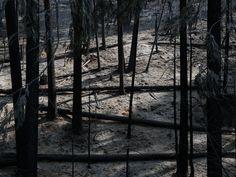 Vrijdag 23 augustus 2013: Verbrande bomen in het Yosemite National Park in Californië. Meer dan 2000 brandweermannen proberen de bosbranden in het natuurgebied onder controle te krijgen.