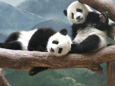 The cute lil' Panda cubs, Mei Huan and Mei Lun | Flickr - Photo Sharing!