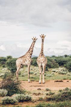 at erindi. More about Namibia on ! - Giraffes at erindi. More about Namibia on ! -Giraffes at erindi. More about Namibia on ! - Giraffes at erindi. More about Namibia on ! Nature Animals, Animals And Pets, Baby Animals, Funny Animals, Cute Animals, Safari Animals, Wild Animals, Wallpaper Fofos, L Wallpaper