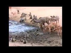 เมื่อสัตว์ต่อสู้แย่งชิง แหล่งน้ำ ใครจะเป็นผู้ครอบครอง!!!