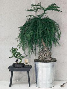 Arancaria und Zwerg-Pfefferbaum