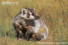 American badger | American badger photo - Taxidea taxus - G135913 | ARKive