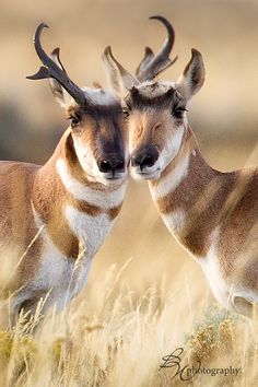 The only exception to the rule about horns is the Pronghorn Antelope of the American plains. Not only do their horns have two points (hence the name Pronghorn), but they also shed their horns on a regular basis.