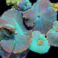 Blue Discosoma (mushroom coral) - From: Sea Creatures, 3 Saltwater Tank, Saltwater Aquarium, Freshwater Aquarium, Aquarium Fish, Corner Aquarium, Jellyfish Aquarium, Under The Water, Under The Sea, Underwater Life