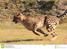 Photo about Captive cheetah running fast at the facility of cheetah outreach in south africa. Image of spots, africa, specie - 20492563 African Animals, African Safari, Teeth Images, Blue Wildebeest, Cheetah Animal, Kinds Of Cats, Usain Bolt, Cheetahs, Big Cats