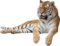 welcome to my world of tube animals Tiger Images, Tiger Pictures, Cute Cartoon Pictures, Tiger Habitat, Png Images For Editing, Animal Cutouts, Animal Categories, New Background Images, Photoshop