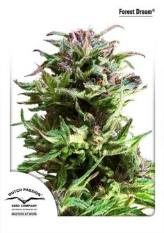 Forest Dream® is suited for outdoor, greenhouse and indoor growing. This sativa-dominant variety is very easy to grow and therefore suited for less experienced growers. She grows fast, develops lots of side branches and generates heavy yields.   She also flowers fast with heavy THC-production, at the end of the flower period the buds are covered in THC crystals.The sweet taste is extremely smooth and enjoyable.