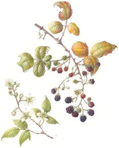Brambles / blackberry