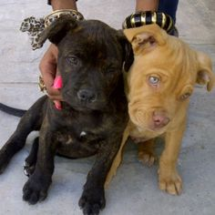baby pits :) how could anyone think those cuties would be mean? Owners make dogs mean not the breed!