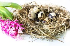 easter concept pink hyacinth and nest of hay with quail eggs on a