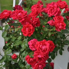 """Blaze"" climbing rose will bloom repeatedly throughout the summer and into the autumn with the heaviest blooming in the spring. Beautiful Gardens, Beautiful Flowers, Rose Wall, Coming Up Roses, Climbing Roses, Landscaping Plants, Live Plants, Colorful Flowers, Flower Colors"